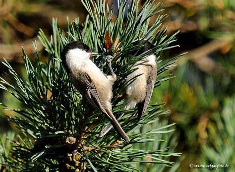 Ilknīte - Pelēkā zīlīte, Poecile montanus | Animals, Bird