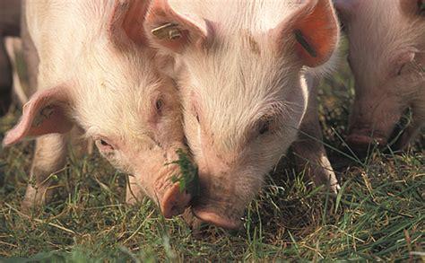 Økologiske svin klarer sig fint uden soja | OrganicToday.dk