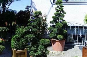 xxl bonsai vom fachbetrieb gartenbonsai in xxl With garten planen mit bonsai 20 jahre