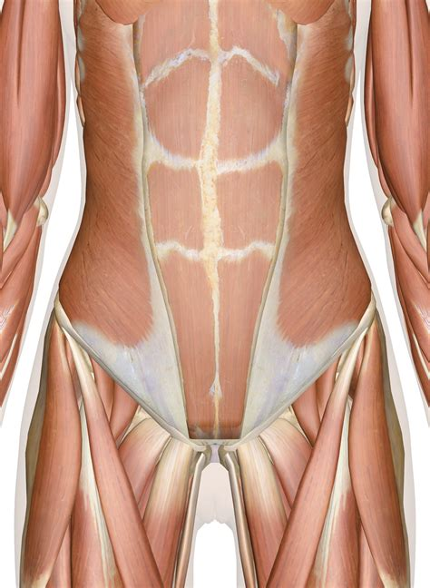 Hip joint is ball and socket joint that connects axial skeleton with lower limb. Muscles of the Abdomen, Lower Back and Pelvis
