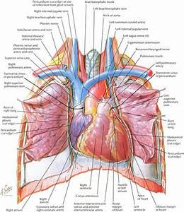 Netter On Anatomy
